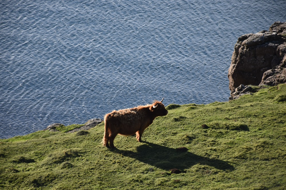 brown cattle on hill