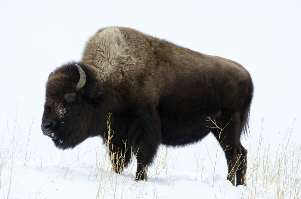 adult bison on snowfield