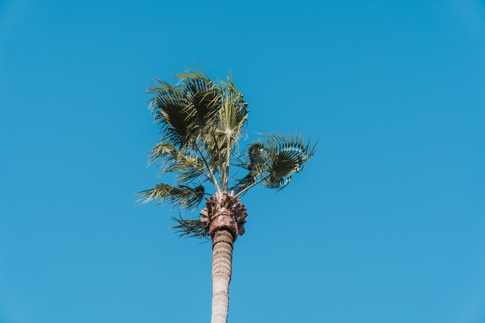 coconut palm tree under blue sky