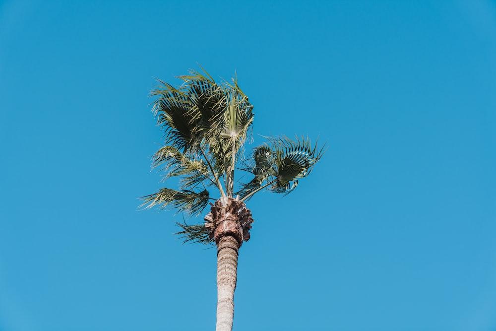 coconut palm tree under blue sky