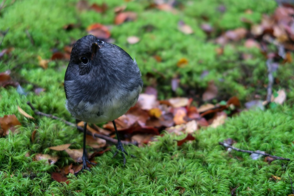 focus photography of a gray bird on green grass