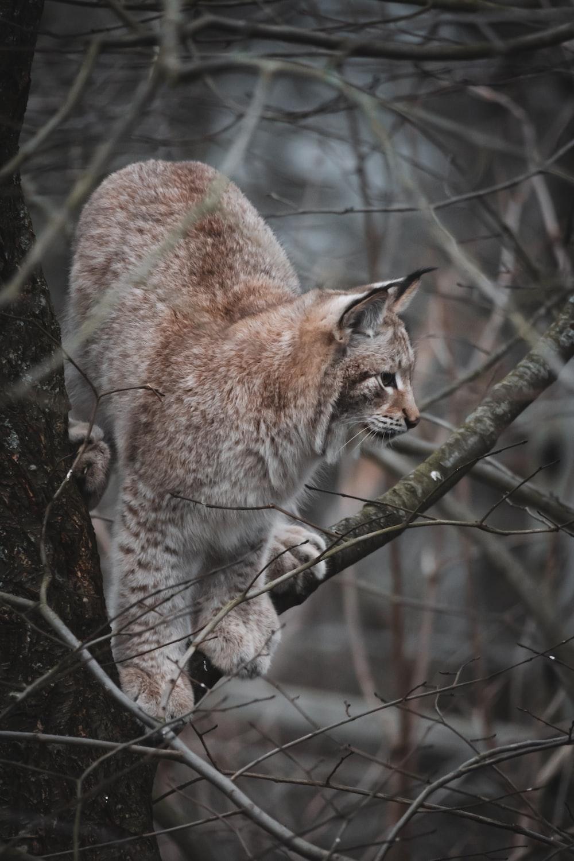 brown lynx on branch