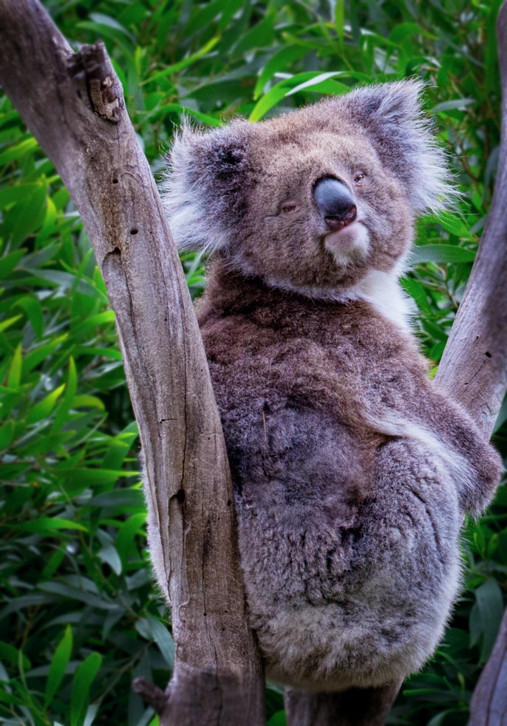 brown koala bear on branch