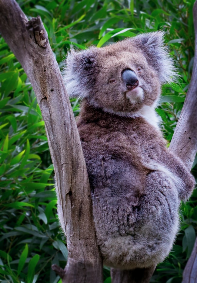 Koala bear in Melbourne zoo