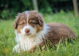 brown and white puppy sitting on field