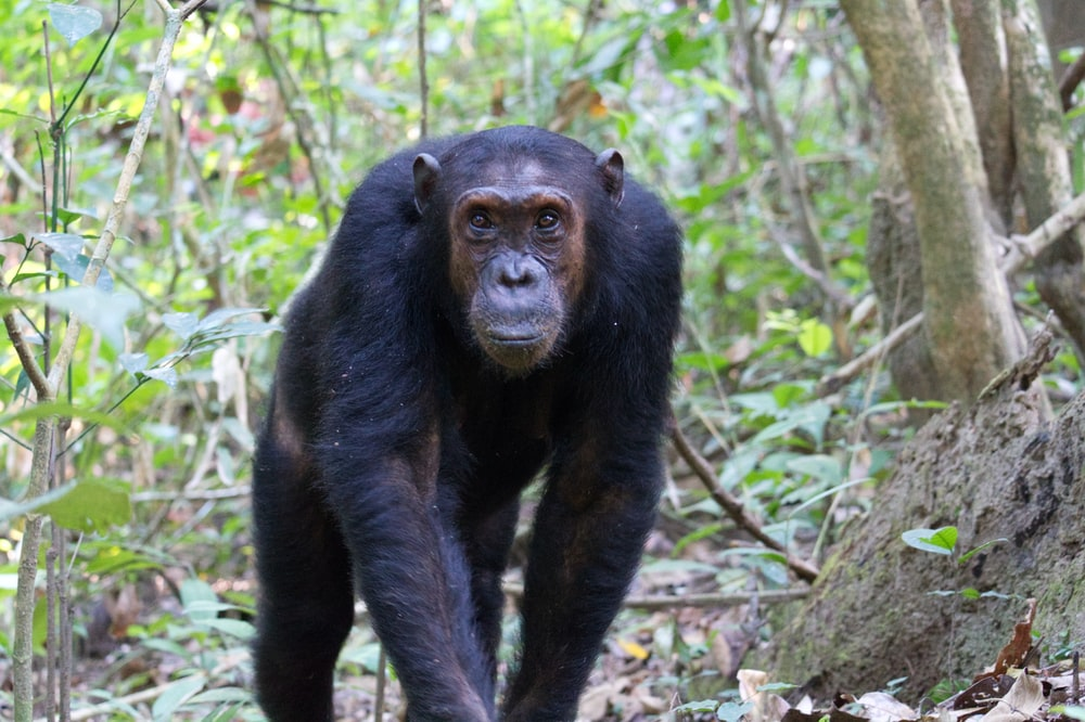 selective focus photography of black monkey surrounded by trees during daytime