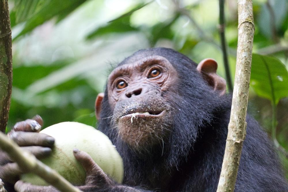 monkey holding green fruit