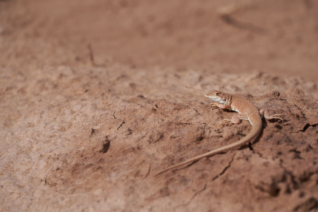 Small Lizard In the Desert  - unsplash