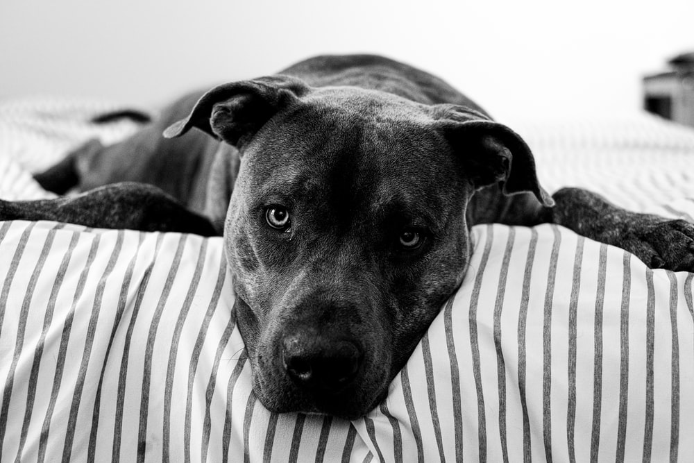 grayscale photography of dog lying on bed