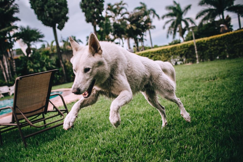adult short-coated white dog