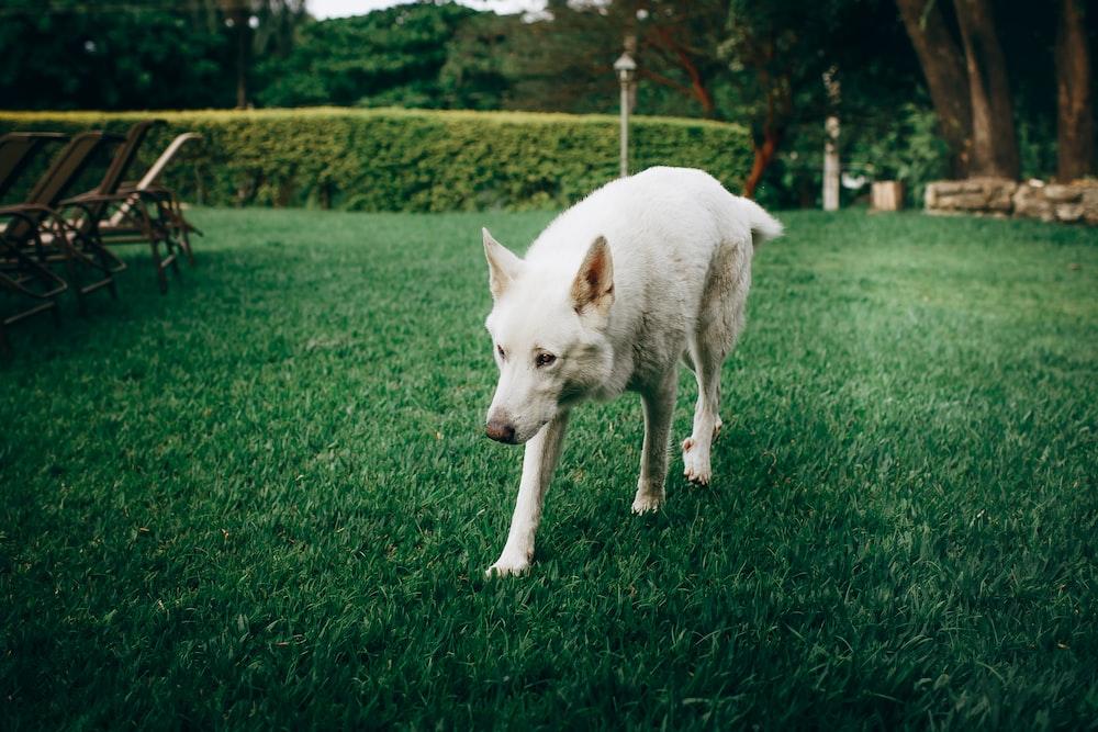 white dog on green grass field