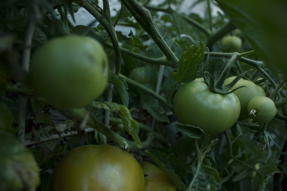 close view of tomato plant