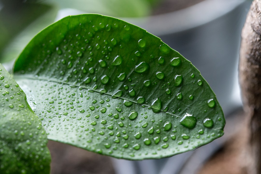 Water droplets on a lemon tree leaf