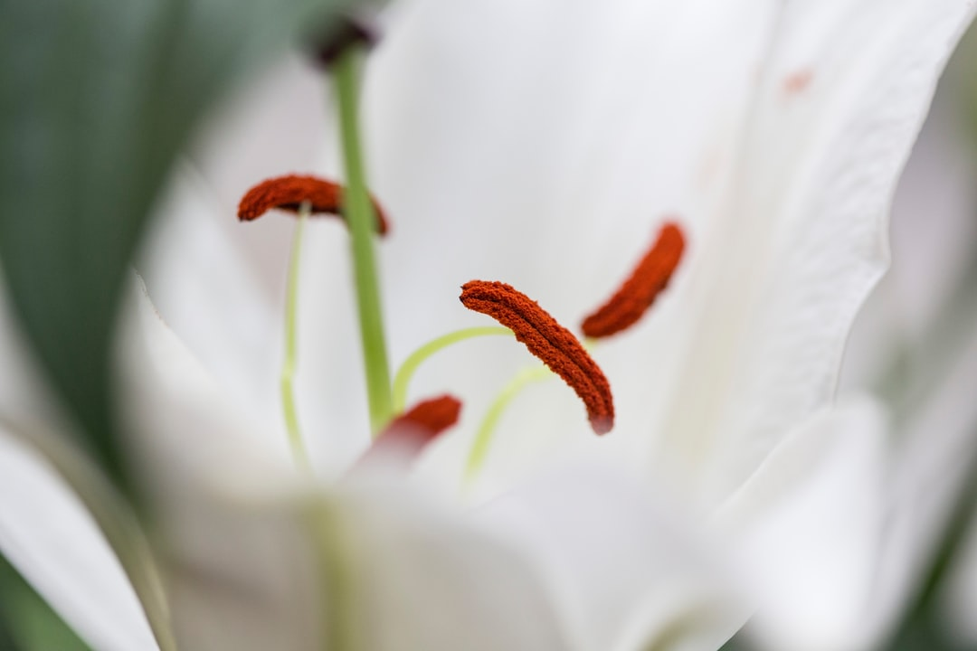Lily pollen