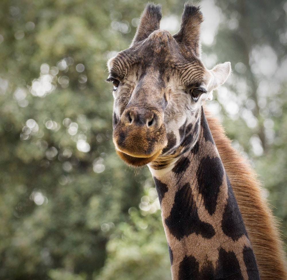 selective focus photography of brown giraffe during daytime