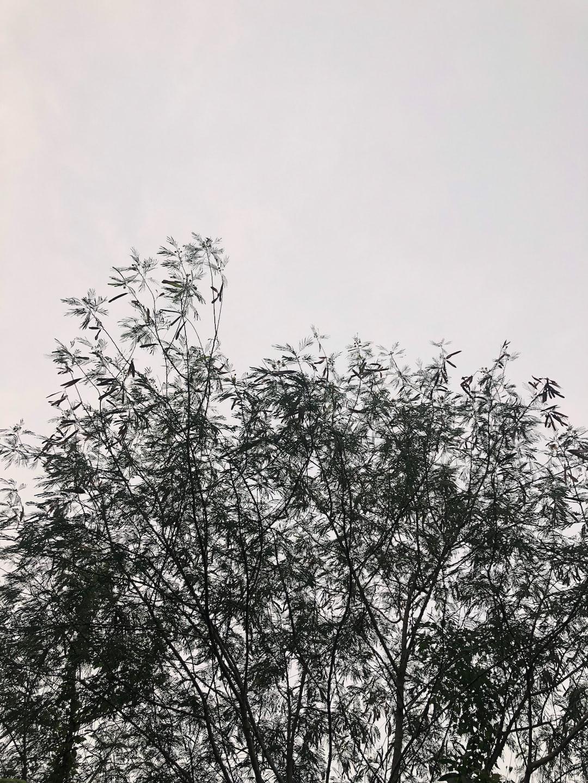 Leucaena tree
