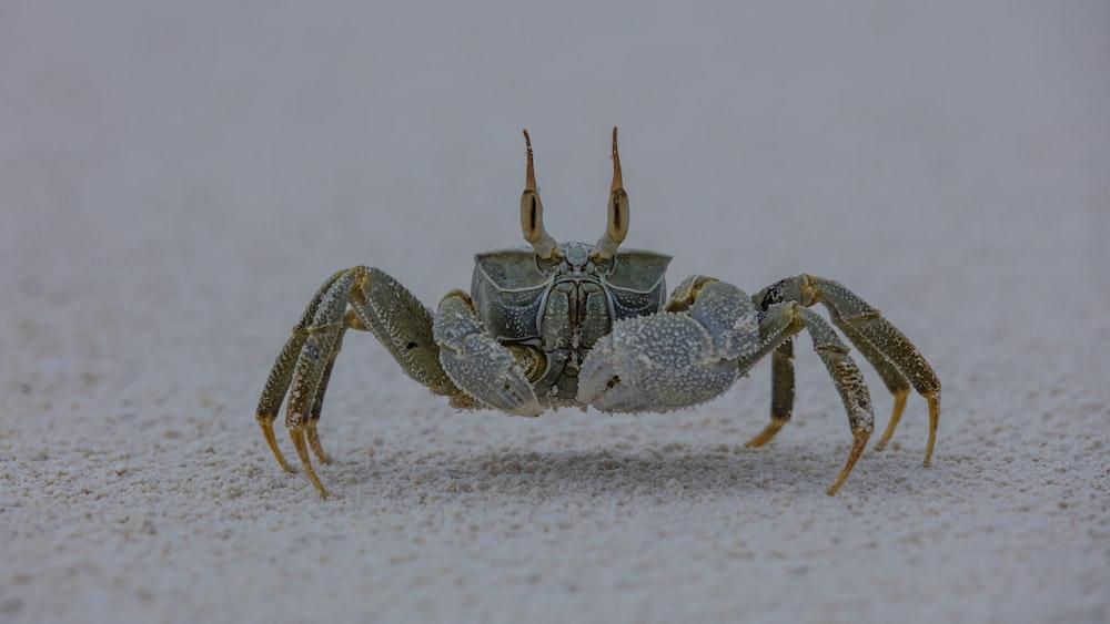 gray and brown crab