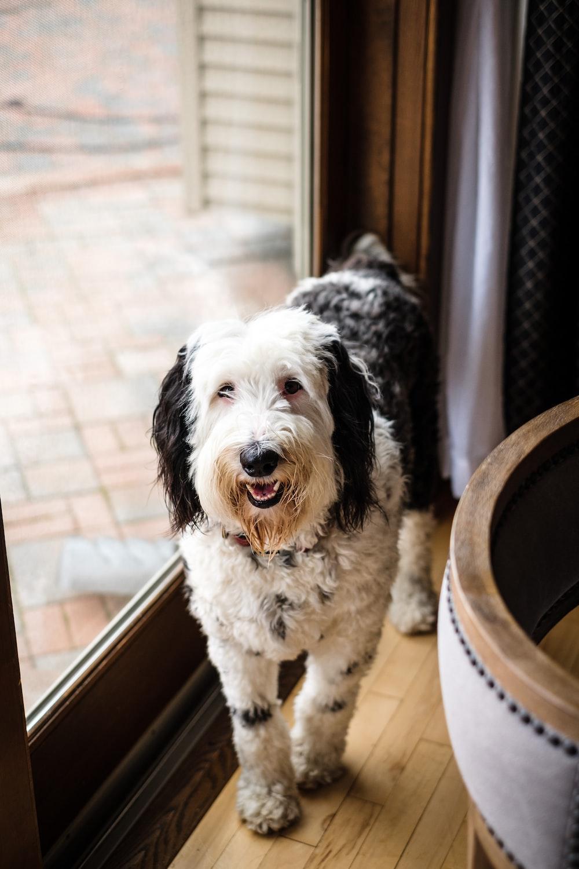 medium-coated white and black dog