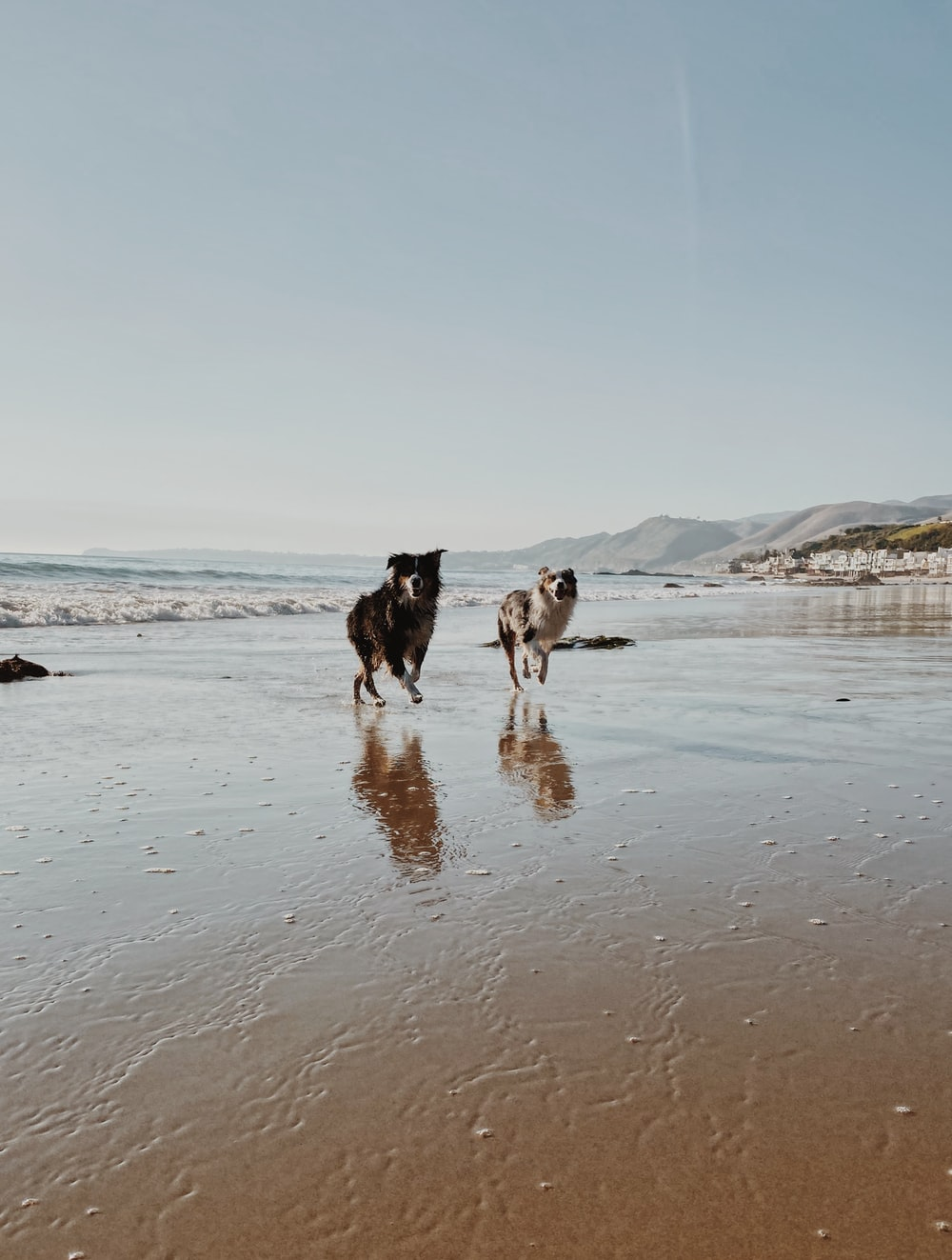 two white and black dogs running on seashore
