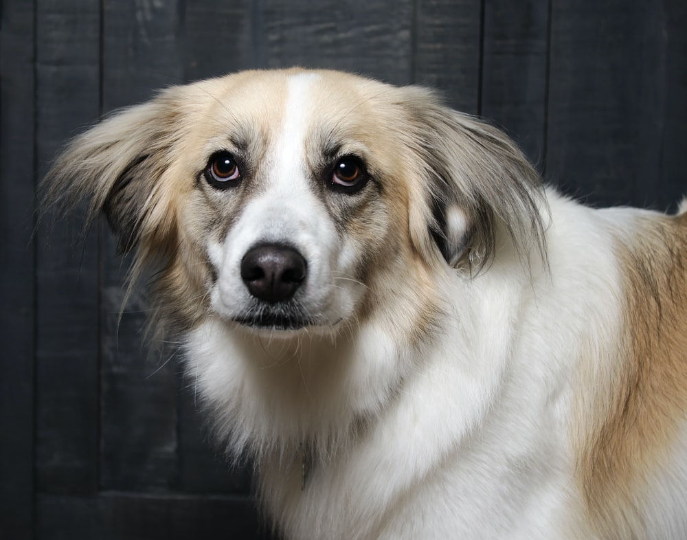 adult long-coated white and brown dog