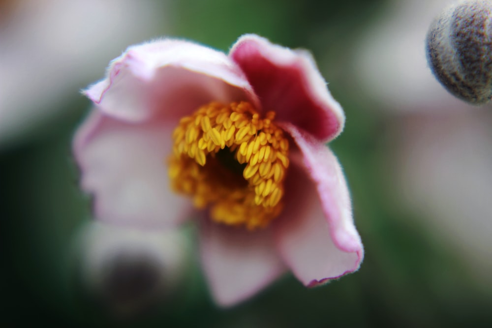 selective focus photography of pink and brown petaled flower during daytime