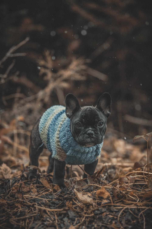 dog wearing blue suit