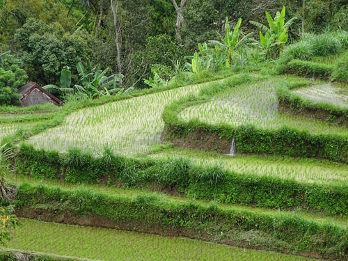 plants beside rice terraces