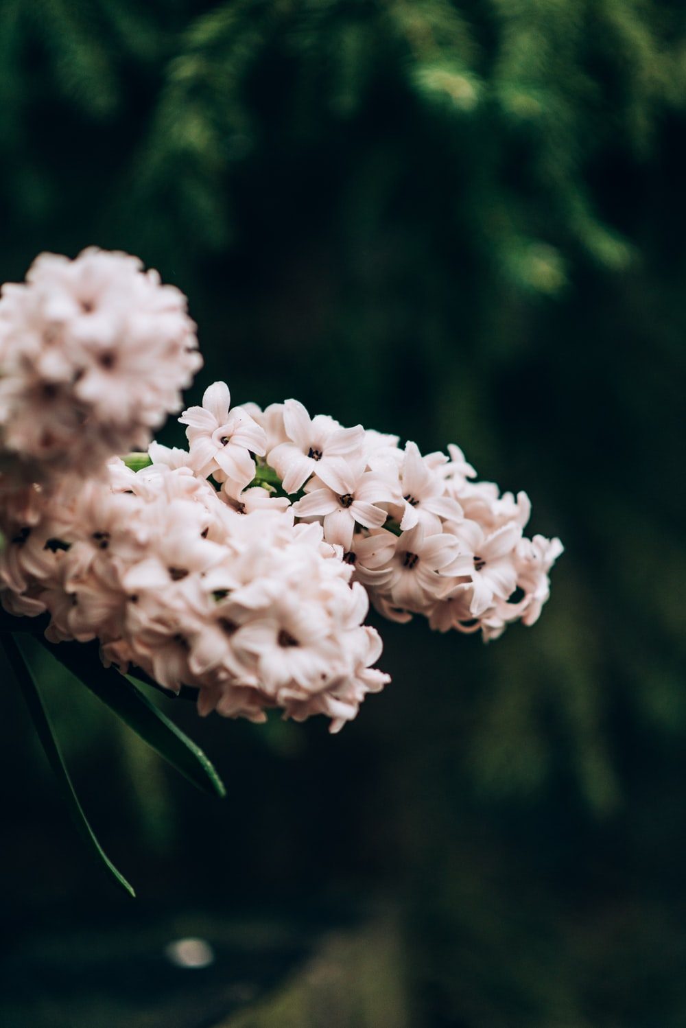white cluster flowers in bloom