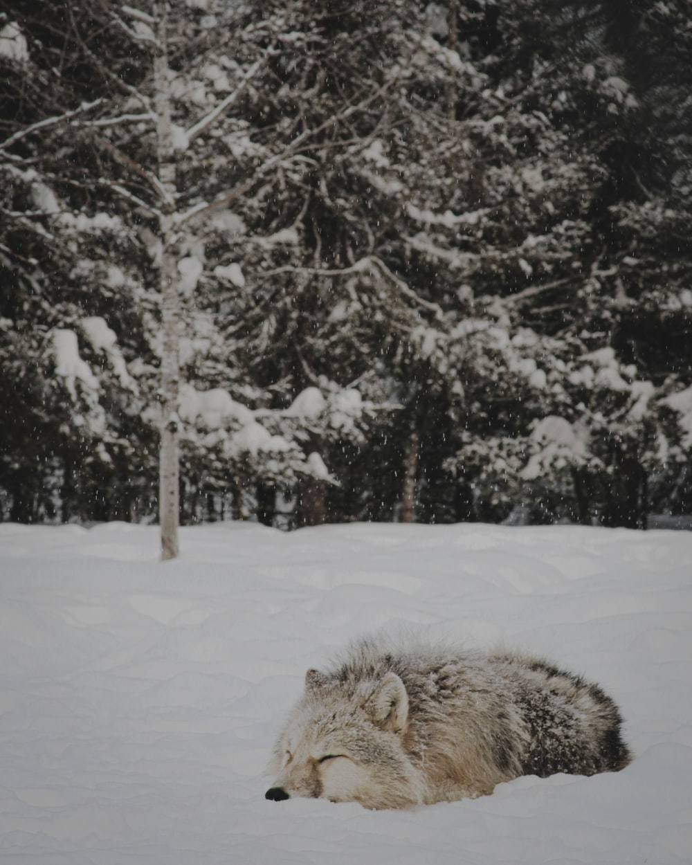 gray wolf lying on snow