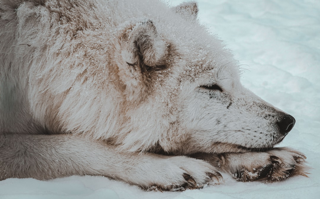 A white wolf enjoying a nap in the snow