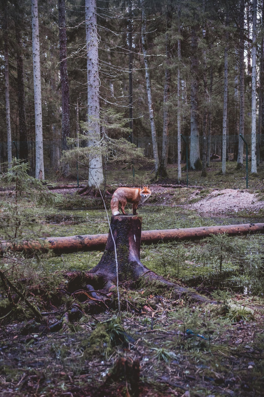 The Ligatne Nature Trails are a well-established network of trails in the natural forest landscape of Gauja National Park where everyone can observe and get to know wild animals of Latvia in conditions almost completely identical to their natural habitat.