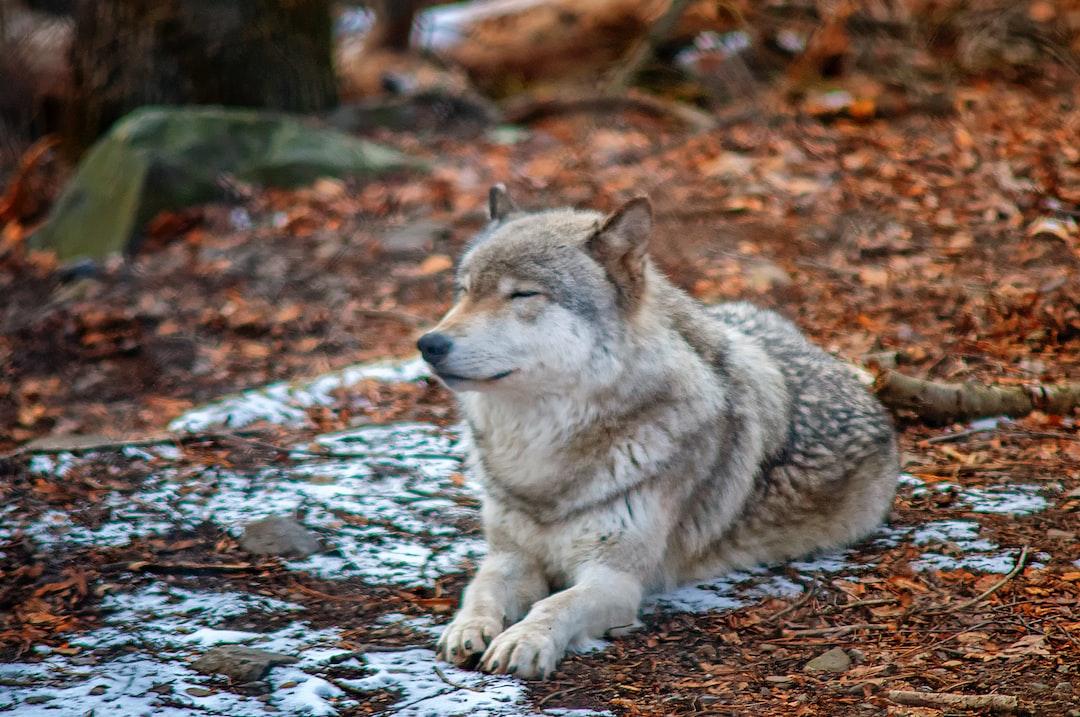 Wolf Bliss