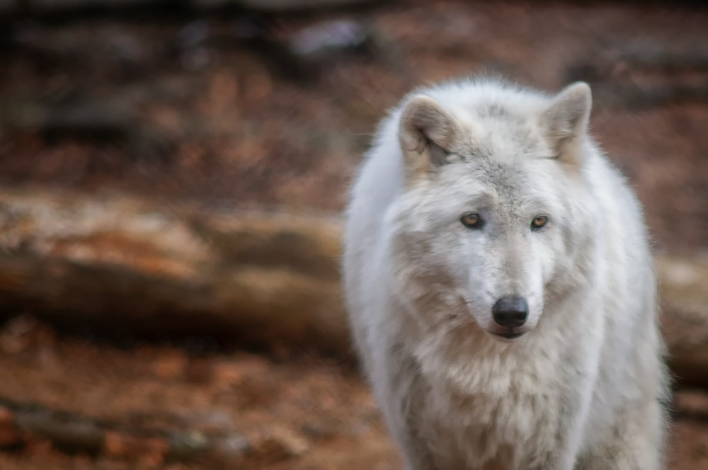 white wolf during day