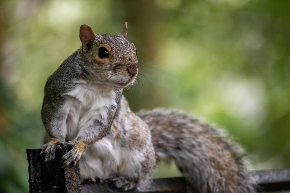 bokeh photography of brown and gray squirrel