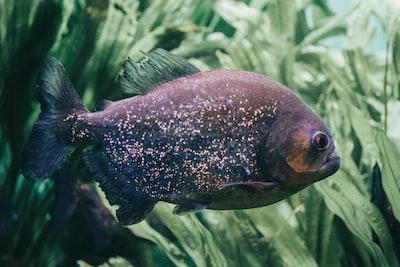 black Oscar fish near leaves