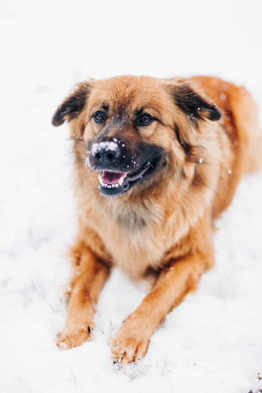 long-coated tan dog on snow field