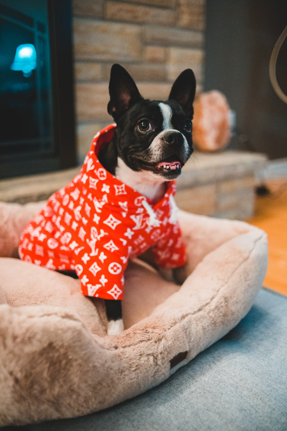 adult black and white French bulldog wearing red apparel sitting on dog bed