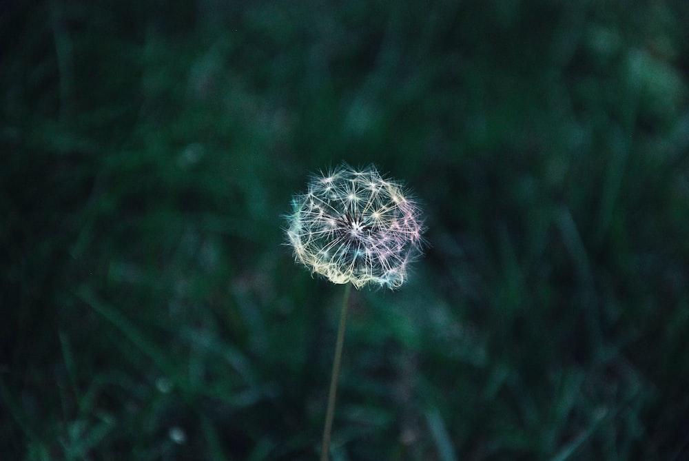 dandelion flower photograph
