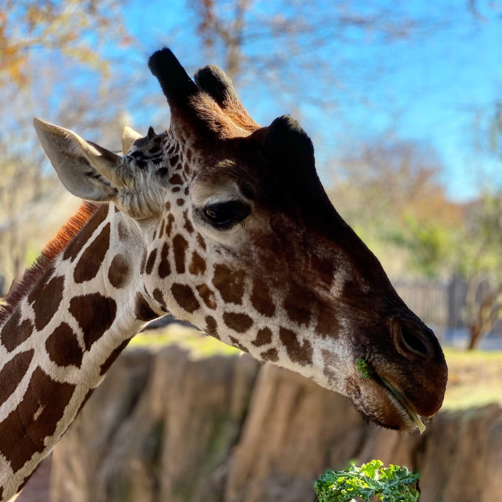 giraffe in close up photography during daytime