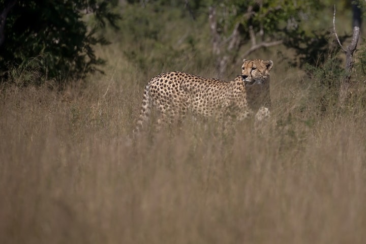 Fact: African Cheetahs originally came from North America