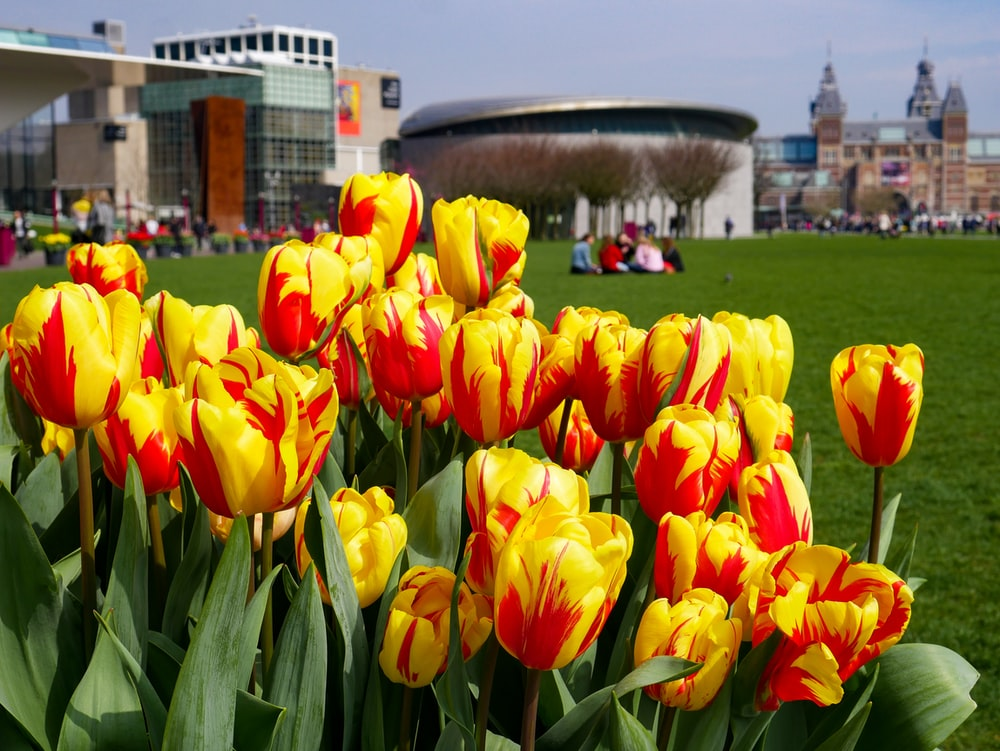 yellow and red tulip flowers in bloom