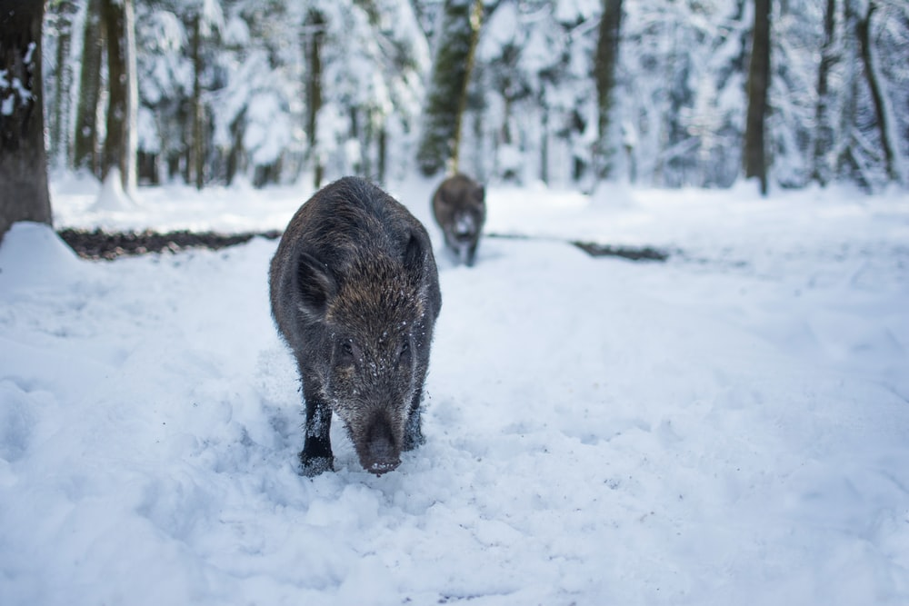 grey boar on the snowy field