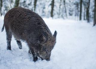 grey boar on the snowy field