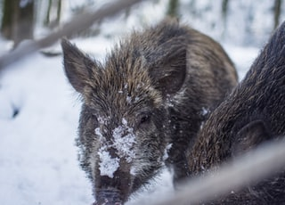 brown and grey boar photograph