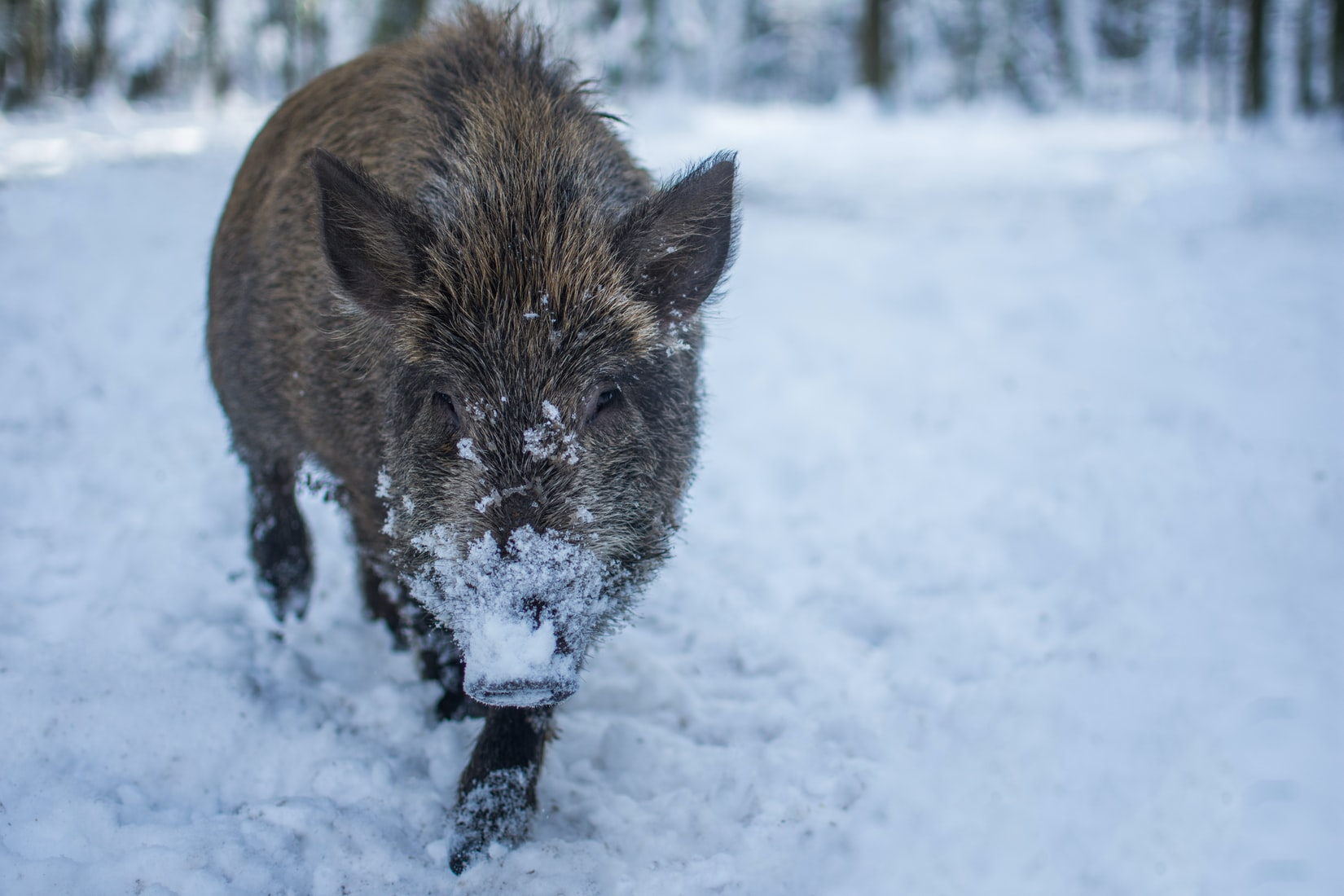 Huge Feral Hogs Invading Canada, Building 'Pigloos' As They Go
