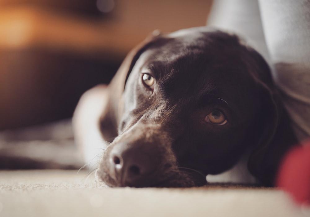 adult black Labrador retriever lying near the grey textile