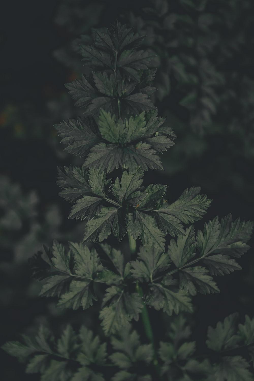 green parsley