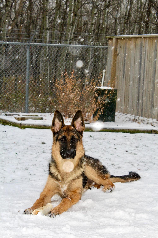 German shepherd lying on snow