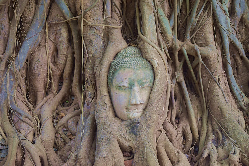 Buddha statue behind brown tree roots and vines