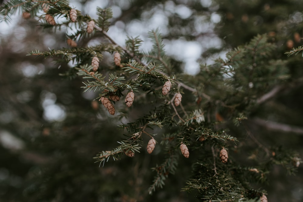 close up photography of pine cone plant